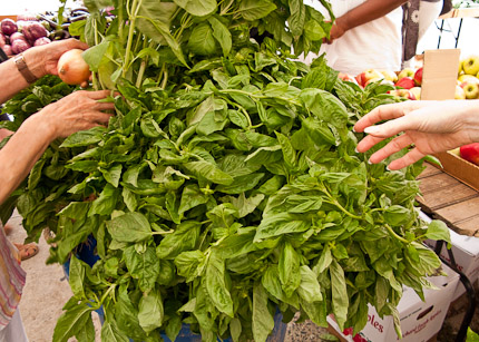 Schrambling_100903_basil for pesto-9-2