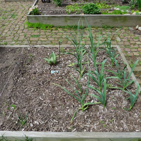 Garden-garlic-esther-sung