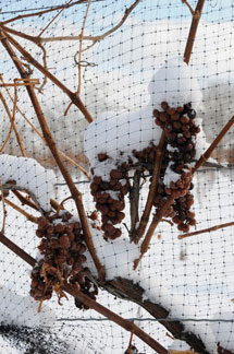 Loos-grapes-frozen-on-vine-215