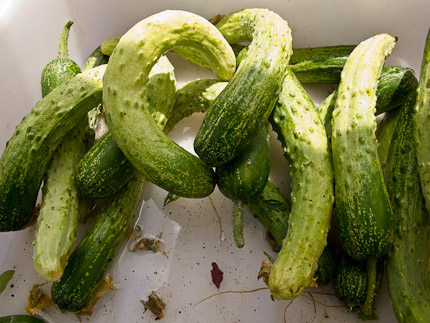 Schrambling_cucumbers japanese good-0678