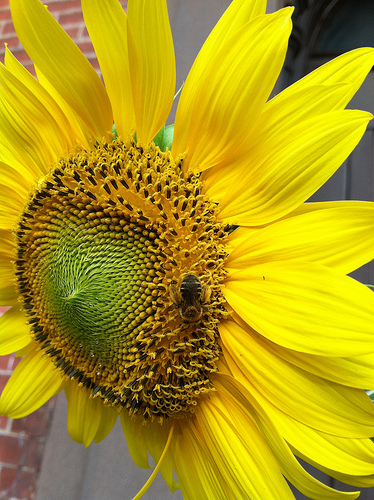 Sunflower-bee-essny