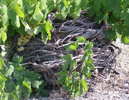Assyrtiko-grapes-rsz