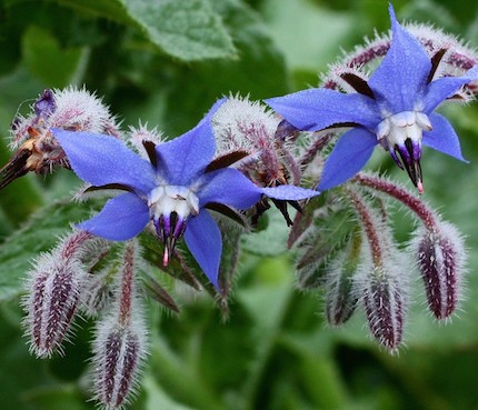 Borago-officinalis-Borage-Bluez-700x600