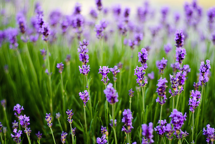 Lavender-flowers-wallpapers-hd-12