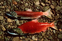 Sockeye_salmon_fish_wildlife_4