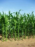 1027928_corn_in_the_sun