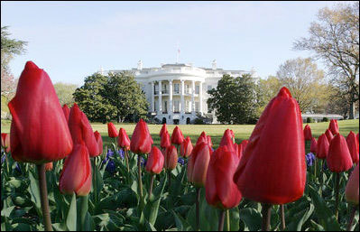Whitehousespringtulips