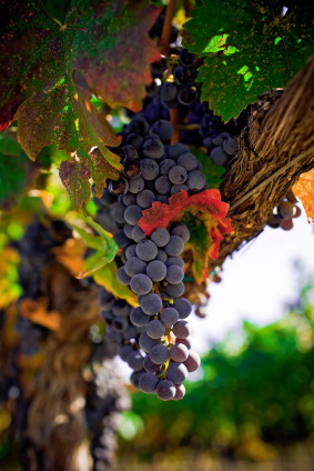 Grapes_purple_on_vine